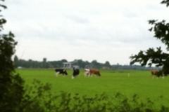 Euro-Diversion 2013 La vuelta a Europa en Moto.ETAPA 8 Amsterdam-Hamburgo Las vacas alemanas
